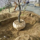 樹木の移植・庭木の植え替え・植栽 緑花苑