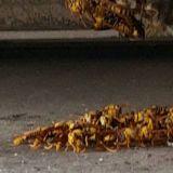 蜂の巣駆除 @tasukata「あ~助かった」