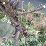 庭木の伐採・抜根 庭屋 よこい