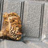 蜂の巣駆除 ハヤカワ商会
